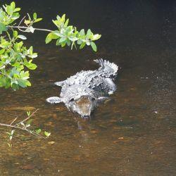 Tamakú y el cocodrilo