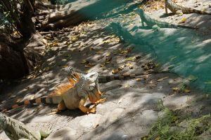 Iguana en Ixtapa