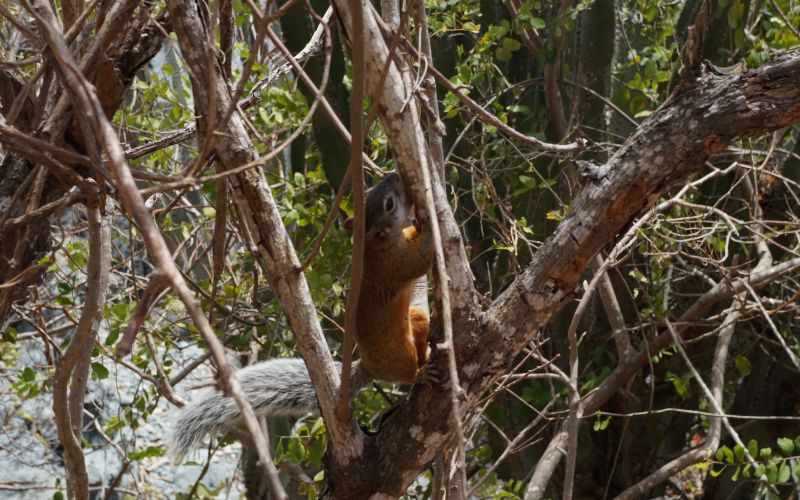 Fauna En Habitat Natural Ardilla