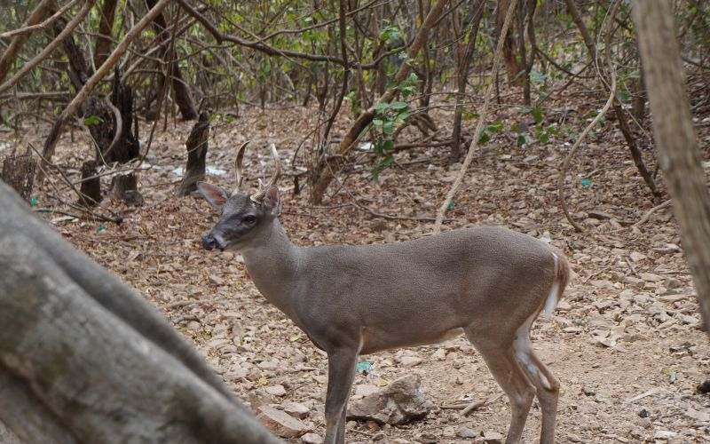 Venado En Habitat Natural Isla Ixtapa Zihuatanejo